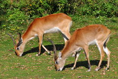 Two antelopes kafue lechwe on pasture. The Lechwe, or Southern Lechwe, (Kobus leche) is an antelope found in Botswana, Zambia, south-eastern Democratic Republic royalty free stock photo