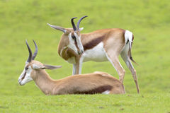 Two Antelopes resting Stock Image