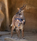 Two Antelopes Sticking Out Tongues. Two antelopes stand and stick out their tongues Royalty Free Stock Photography