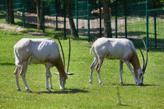 Two antelopes at the zoo Stock Images