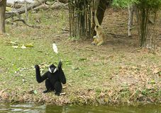 Two anthropoid apes Gibbon play on a small island. Two anthropoid monkeys Gibbon one black, the other yellow. They play on a small island Stock Photo