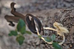Two antique skeleton keys hanging from a tree Royalty Free Stock Images