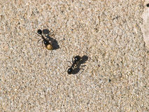 Two ants Stock Image