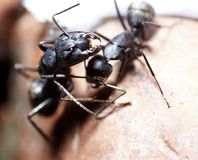 Two ants conspiracy. Two ants consulting on rock Stock Images