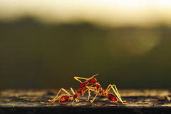 Two ants fighting Stock Photos