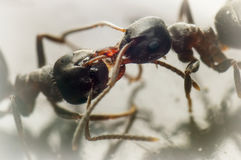 Two ants fighting Royalty Free Stock Photo
