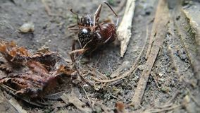 Two ants fighting. On land stock video footage