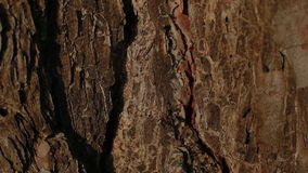 Two ants fighting on a tree bark stock footage