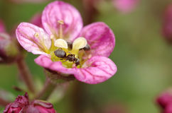 Two ants on flower Royalty Free Stock Photography