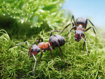 Two ants formica rufa on go Stock Image