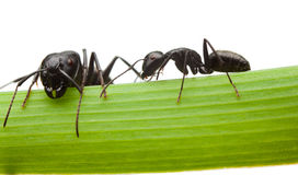 Two ants on grass blade Royalty Free Stock Photography
