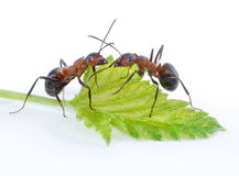 Two ants and green leaf Stock Photos