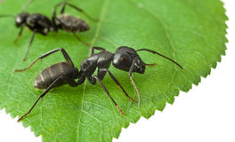 Two ants on green leaf Royalty Free Stock Images
