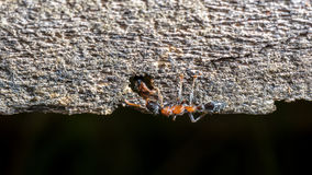 Two ants greeting Royalty Free Stock Images