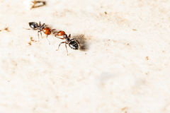 Two ants. Two little ants interacting on the ground Stock Photos
