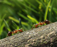 Two ants meet in the forest Stock Image