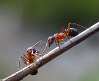 Two ants meet in garden Stock Photo