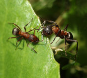 Two ants meet on green leaf Stock Image