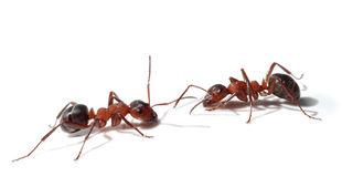 Two ants meet royalty free stock image