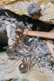 Two ants Stock Photography