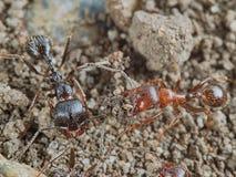 Two ants Stock Photo