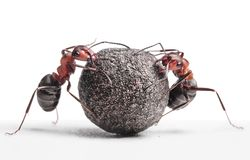 Two ants rolling stone Stock Images
