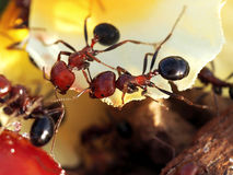 Two ants in sunny day Royalty Free Stock Images
