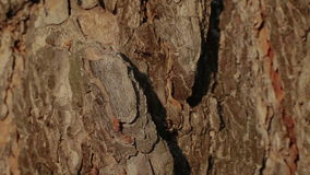 Two ants on a tree bark stock footage