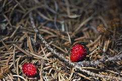 Two ants and two wild strawberries Stock Images