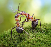 Two ants, warm greetings look like kiss. Two ants formica rufa, warm greetings Royalty Free Stock Photos