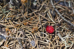 Two ants and wild strawberry Royalty Free Stock Image