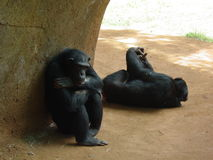 Two Apes. In a captive setting Royalty Free Stock Photo