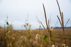 Two apex of corn stems on the blurred background. Royalty Free Stock Images