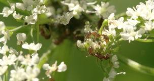 Two aphids crawling on the flowers 4K FS700 Odyssey 7Q. Two aphids crawling to each other on the flowers 4K FS700 Odyssey 7Q stock footage