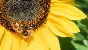 Two bees collect nectar from a flower of a sunflower. stock photo