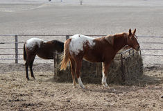 Two Appaloosa Horses Royalty Free Stock Photos