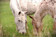 Two appaloosa ponies royalty free stock photos