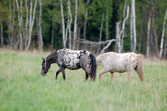 Two appaloosa ponies grazing on the meadow in summer Stock Image
