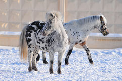 Two appaloosa ponies Stock Photo
