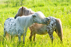 Two appaloosa ponyes on the meadow. Two appaloosa ponyes grooming on the meadow in summer Royalty Free Stock Photos