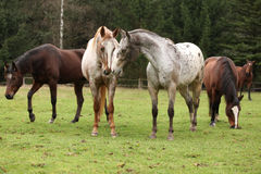 Two appaloosas together, with other horses in background Royalty Free Stock Image