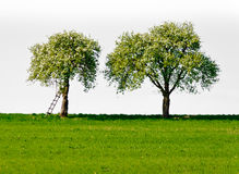 Two Apple Trees Stock Photo