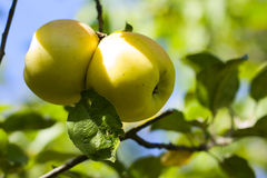 Two apples. Together on a tree in autumn Stock Images