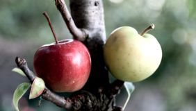 Two apples. On a tree Stock Images