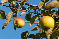 Two apples on the branch of an apple-tree Royalty Free Stock Photography