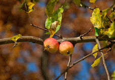 Two apples on a branch Stock Photography