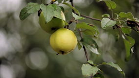 Two apples branch. Two ripe apples close-up stock video