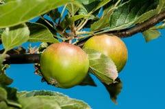 Two apples - detail Stock Photos