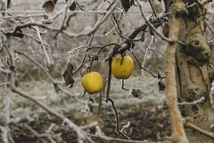 Two apples in a fruit tree covered by ice during the winter on Lleida Spain. Survivor concept. Cold morning on winter in a rural landscape in Lleida Spain royalty free stock photos