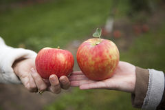 Two apples in ladies hands. Ladies holding two red apples during the fall harvest Stock Photos